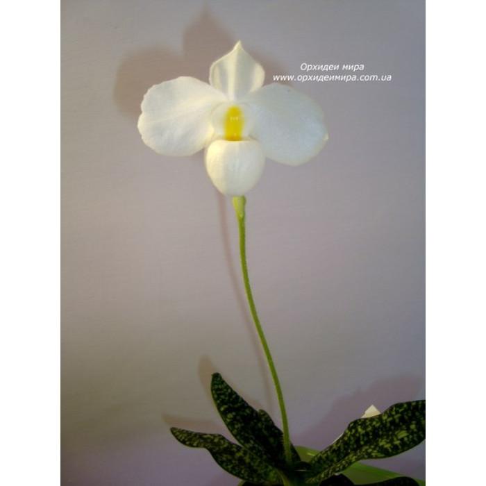 Paph. Delenatii alba 1,7