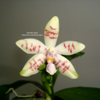 Phalaenopsis (Princess Kaiulani x hieroglyphica) x tetraspis