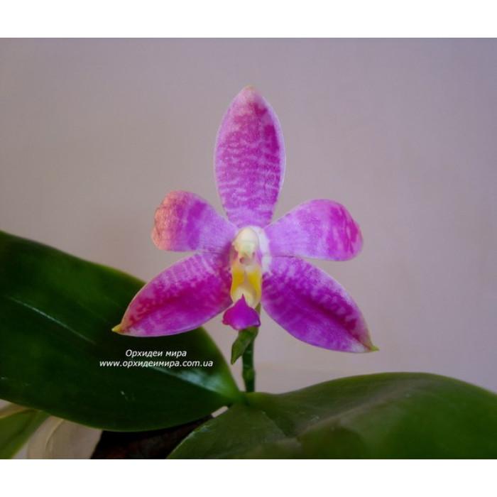 Phal. (Purple Martin x Tetraspis C1) x Jennifer Palermo