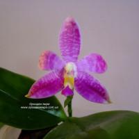 Phalaenopsis (Purple Martin x tetraspis C1) x Jennifer Palermo