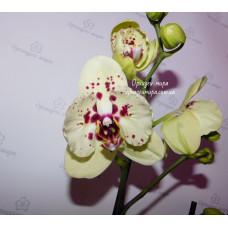 Phal. Albufeira бабочка