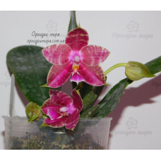 Phal. Allian Princess Gelb