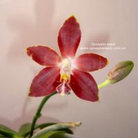 Phal. Amboinensis Nicole
