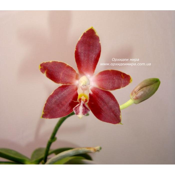 Фаленопсис Амбоиненсис Николь (Amboinensis Nicole)