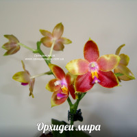 Phal. Amboinensis x Penang Girl