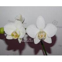 Phal. Aphrodite Yellow lip x sib 3,5