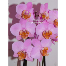 Phal. Beaumont