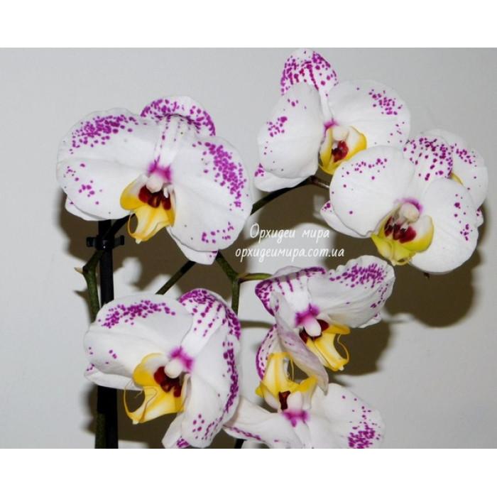 Фаленопсис Белликоз (Bellicose)
