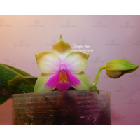 Phal. Bellina Chen 3,5