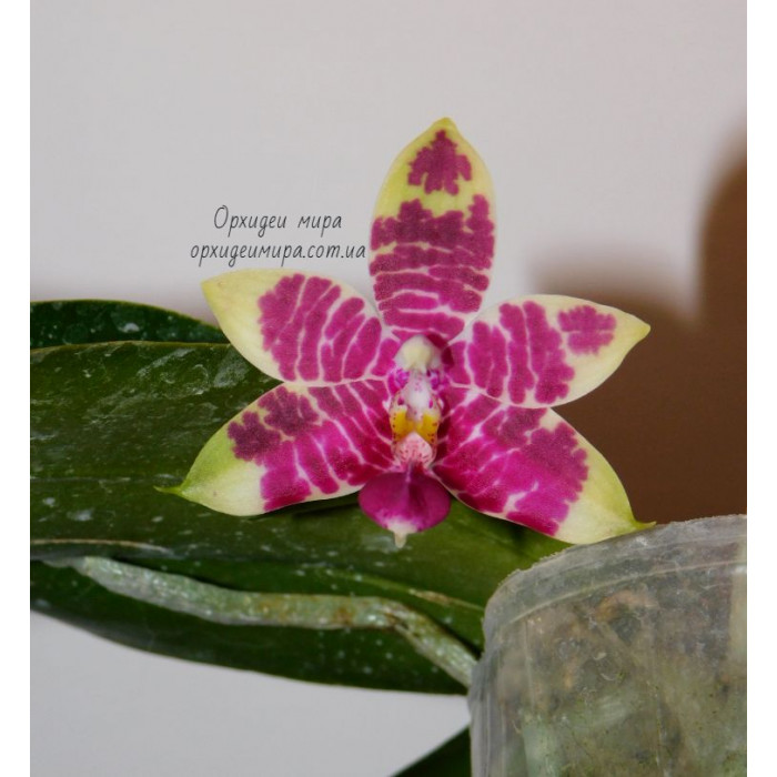 Phal. Brother Ambo Passion x Jessie Lee