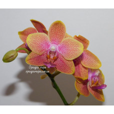 Phal. Brother Sara Gold