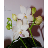 Phal. Chang Maw Jade x Tetraspis Alba