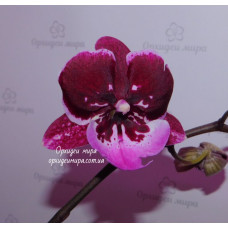Phal. Chia Shing Hot Kiss big lip