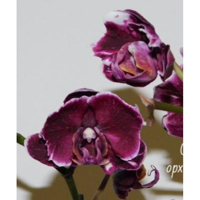 Фаленопсис Киада Стейси Чоклет Дропс бабочка хайбред (Chiada Stacy Chocolate drops бабочка hybrid)