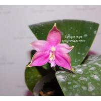 Phal. Chiang Yi Little Pepper x LD Bear Queen №2