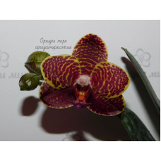 Phal. Chienlung Golden Diamond