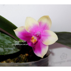 Phal. Chienlung Happy Queen