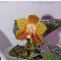 Phal. Chienlung Tiger
