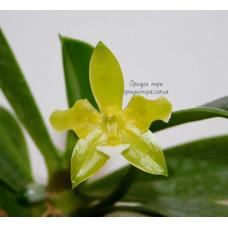 Phal. Cornu-cervi Alba (variation) бабочка уценка