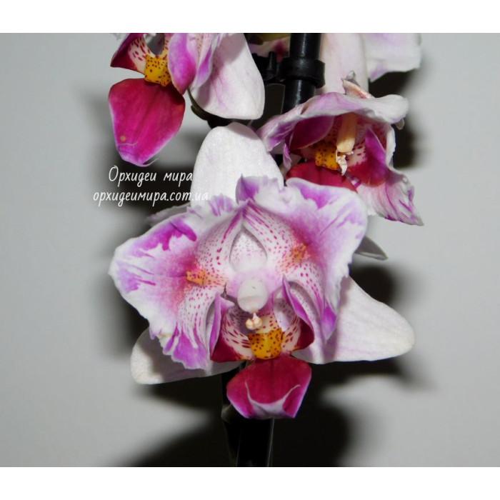Phal. Curacao бабочка