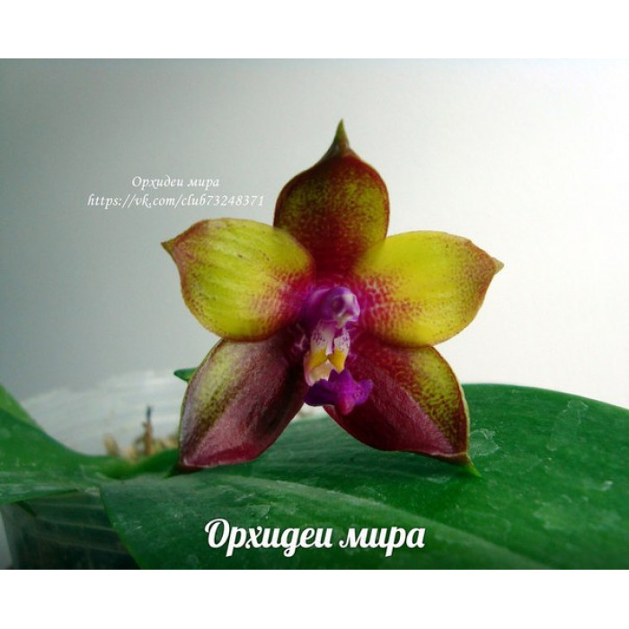 Phal. Dragon Tree Eagle DT 168 уценка