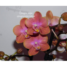 Phal. Dusty Belle