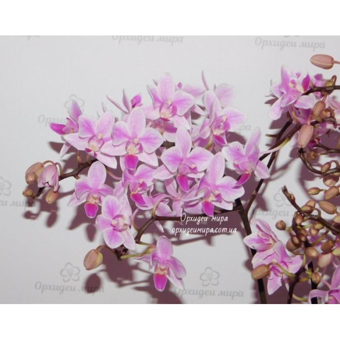 Фаленопсис Эквестрис Вайлд Пинк (Equestris Wild Pink)