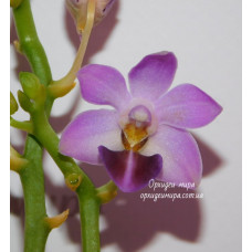 Phal. Evarise Blue Angel