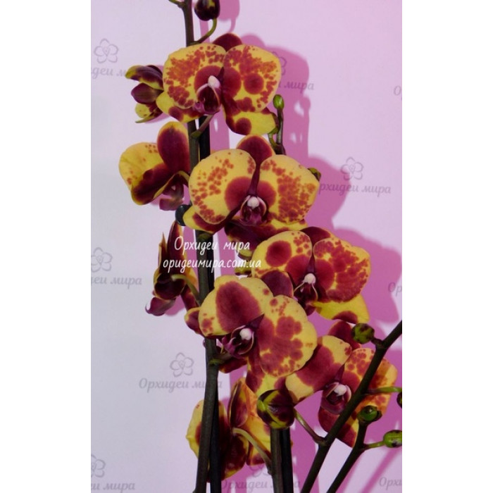Phal. Flaming Jazz