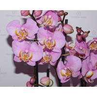 Phal. Formation