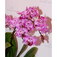 Phal. Formosa Cranberry Wilson бабочка