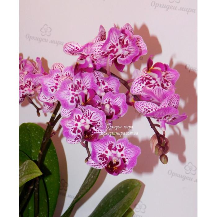 Фаленопсис Формоза Кренбери Вилсон (Formosa Cranberry Wilson бабочка)