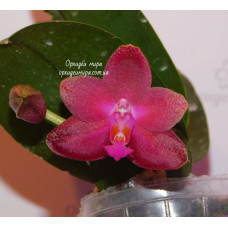Phal. Fusheng World