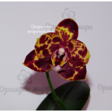 Phal. GW Green World