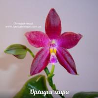 Phalaenopsis gersenii