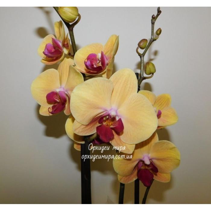 Phal. Golden Beauty 2,5 уценка без т.р.