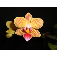 Phal. Golden Star