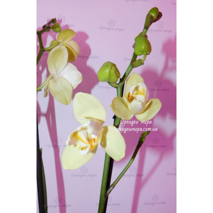 Phal. Golden Yaguar peloric