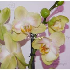 Phal. Golden Yaguar бабулетка