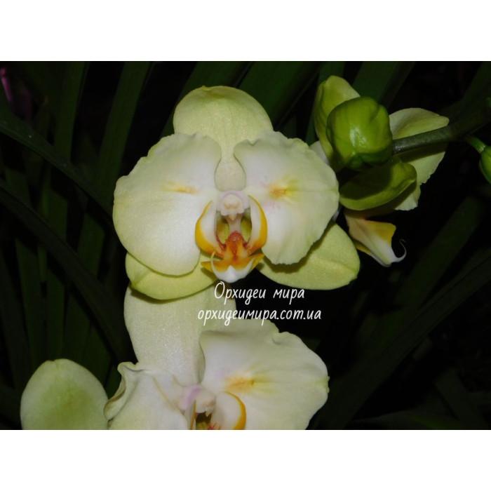 Phal. Golden Yaguar бабочка