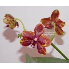 Phal. Haur Jin Diamond x (Yaphon Sir x KS Happy Eagle)