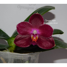 Phal. Haur Jih Fancy x Lds Bear King