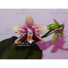 Phal. Haur Jin Diamond x (Yaphon Sir x KS Happy Eagle) №3