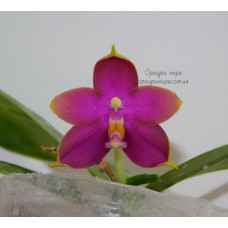 Phal. Hawaii Dragon Girl Red