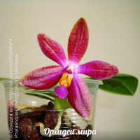 Phalaenopsis hieroglyphica x Macassar