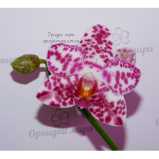 Phal. Hos Graceful Natasha