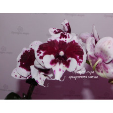 Phal. Untold Stories big lip