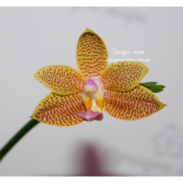 Фаленопсис (Hybrid №62 уценка)