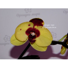 Phal. I-Hsin Pudding Puppy