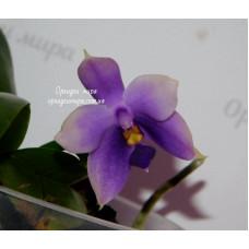 Phal. Indigo Blue x Samera Blue №7